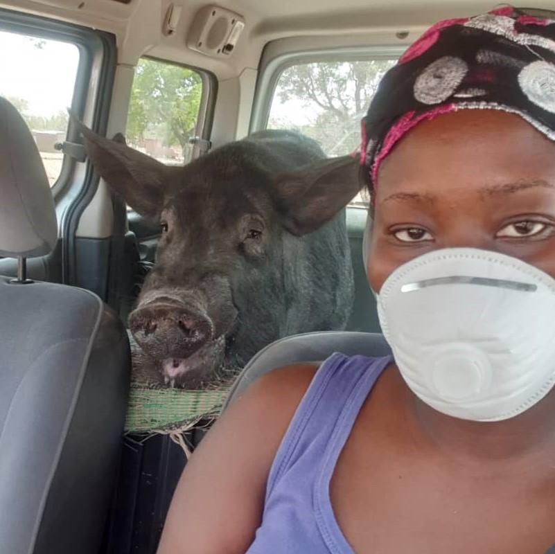 En pleine livraison de porcs