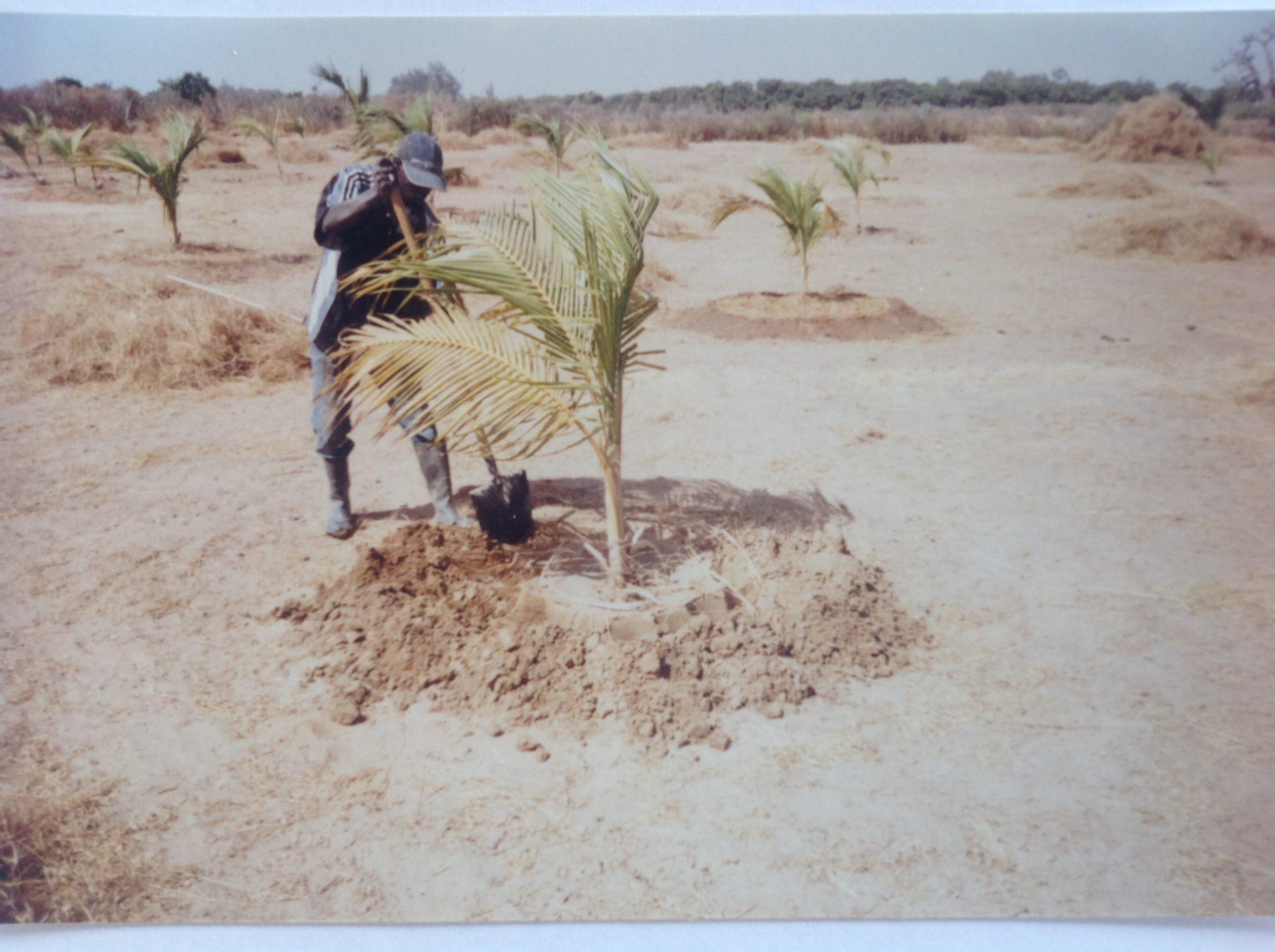 Plantation du premier cocotier en 2003